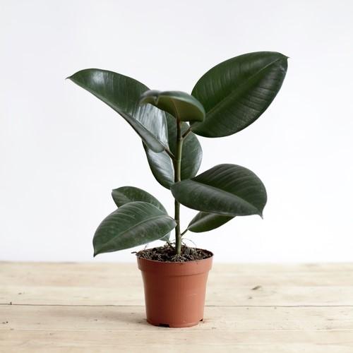 indoor plants - Rubber Plant