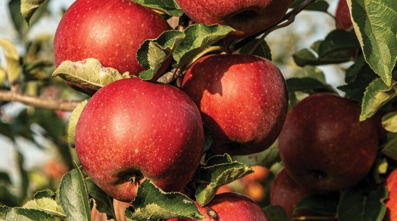 vitamins in apple in hindi,