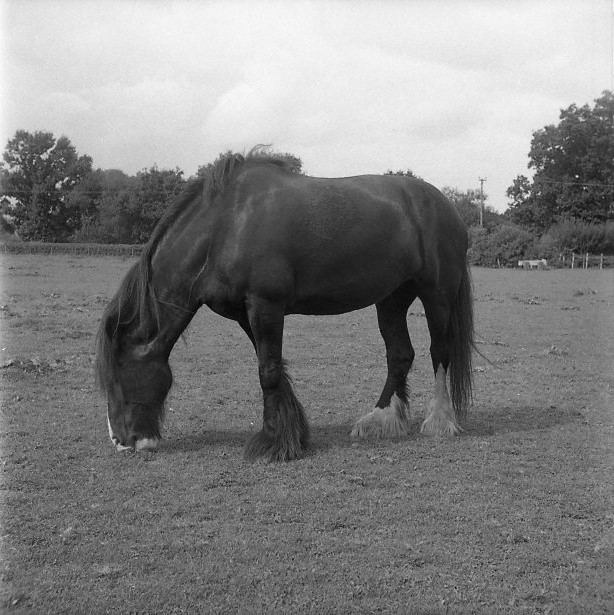 Yashica 44 TLR rerapan 100 127 format film b&w shire horse grazing field