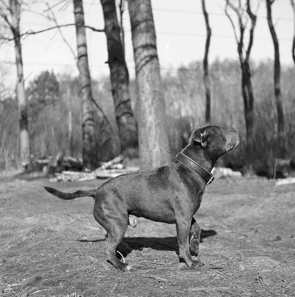 yashica 44 tlr rerapan film 127 format wildmoor heath crowthorne berkshire staffy dog outdoors forest