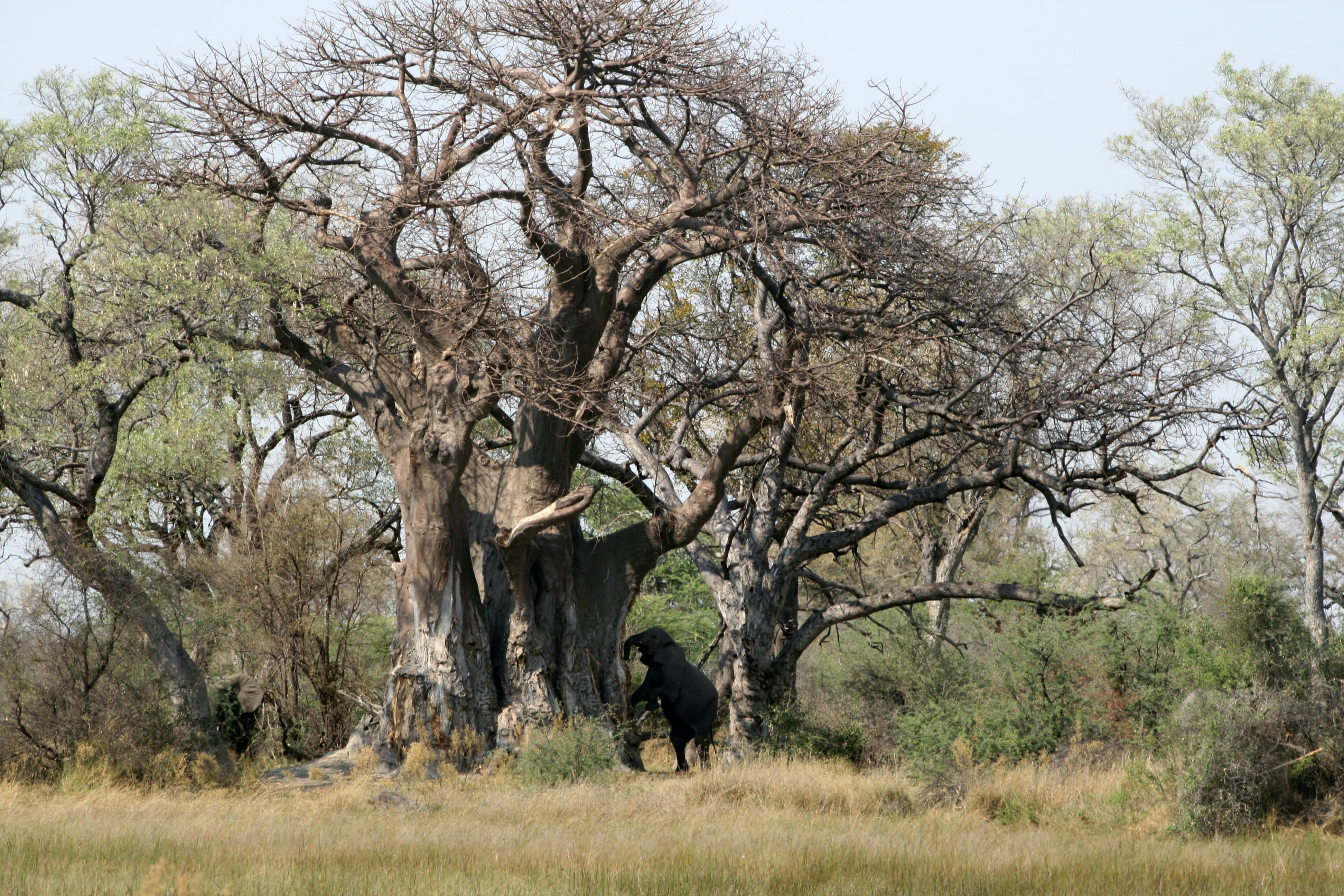 baobab-en-olifant-min