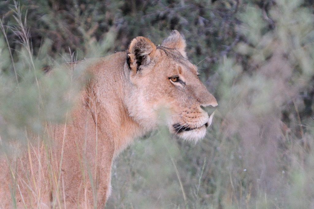 lioness-1-min