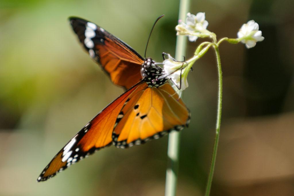 monarch-butterfly