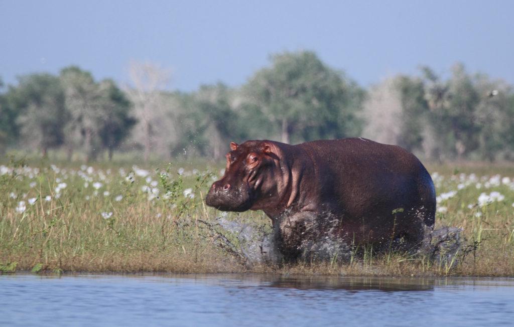 moz-gor-hippo