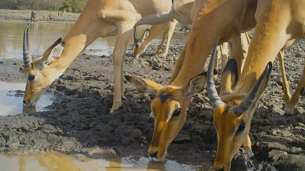 moz-gor-impalas drinking