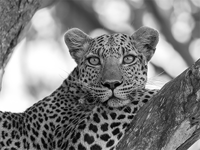 WATCH TOWER LEOPARDESS SMALL