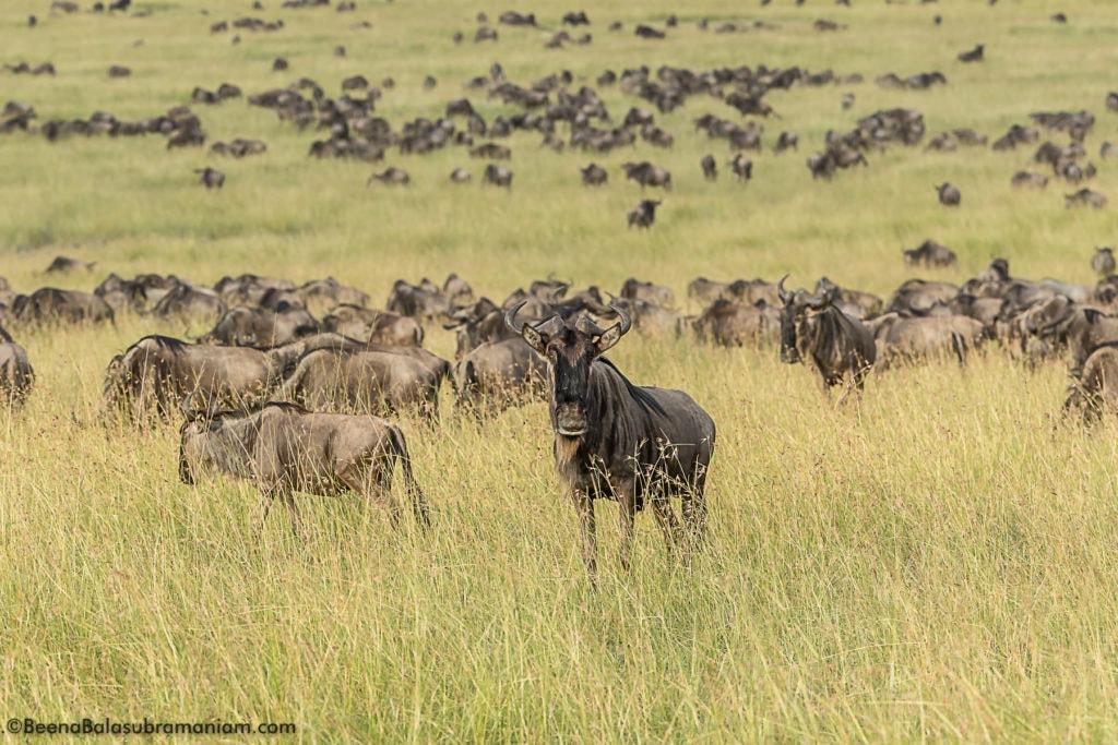 The Great Migration 2017 Kogatende Tanzania, Serengeti National park