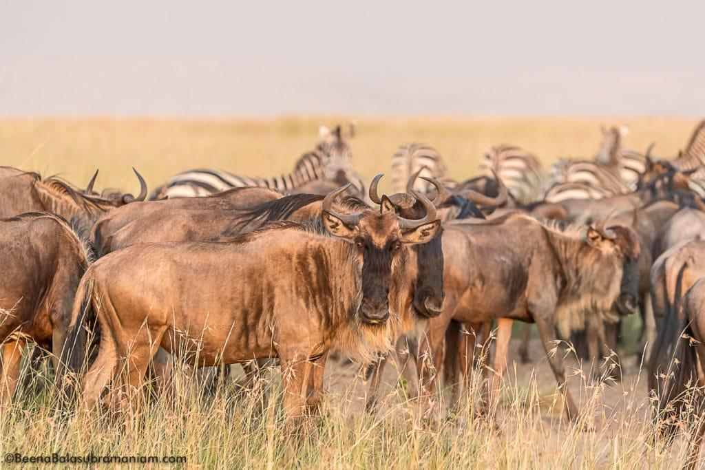 Wildebeest migration 2017 golden light