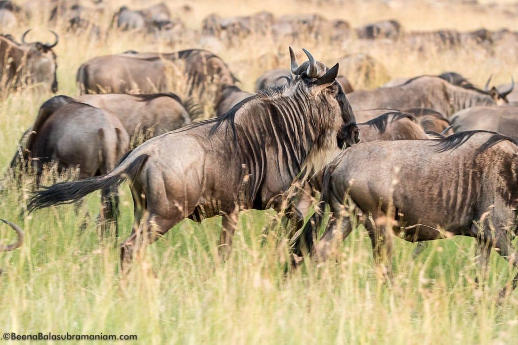 The boisterous Migration
