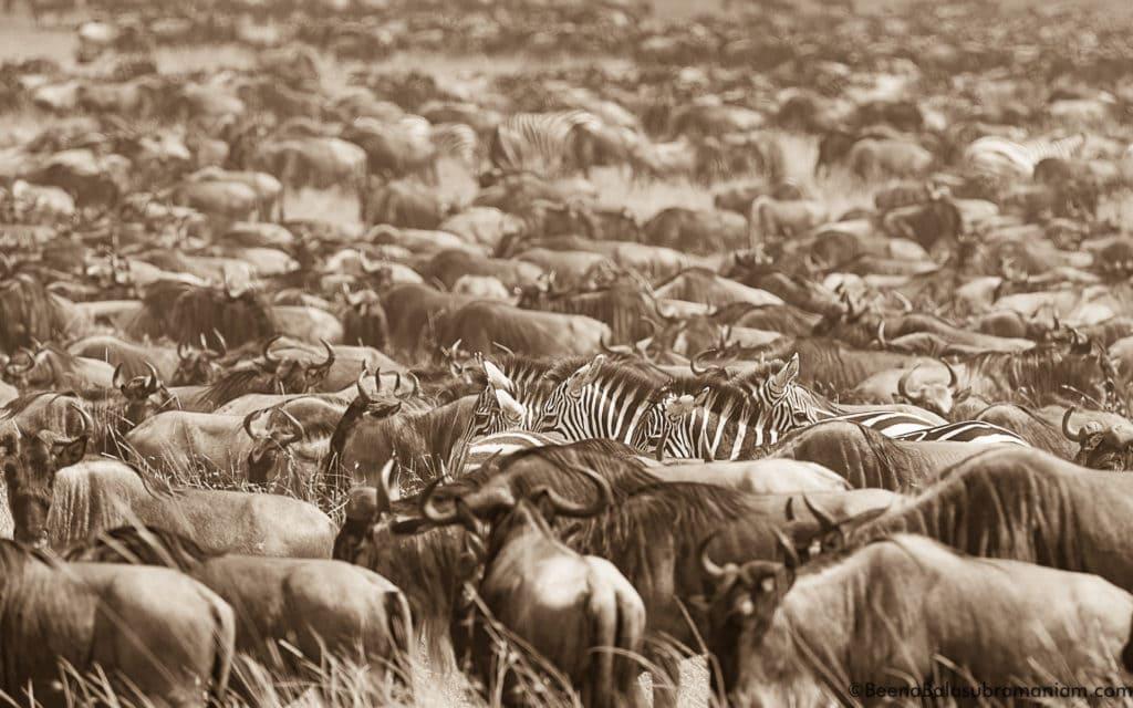 The mega herd in sepia