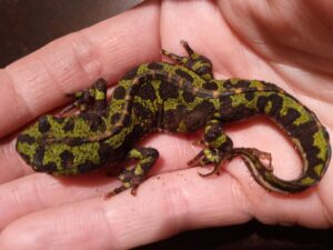 Marbled newt - found in the woodshed