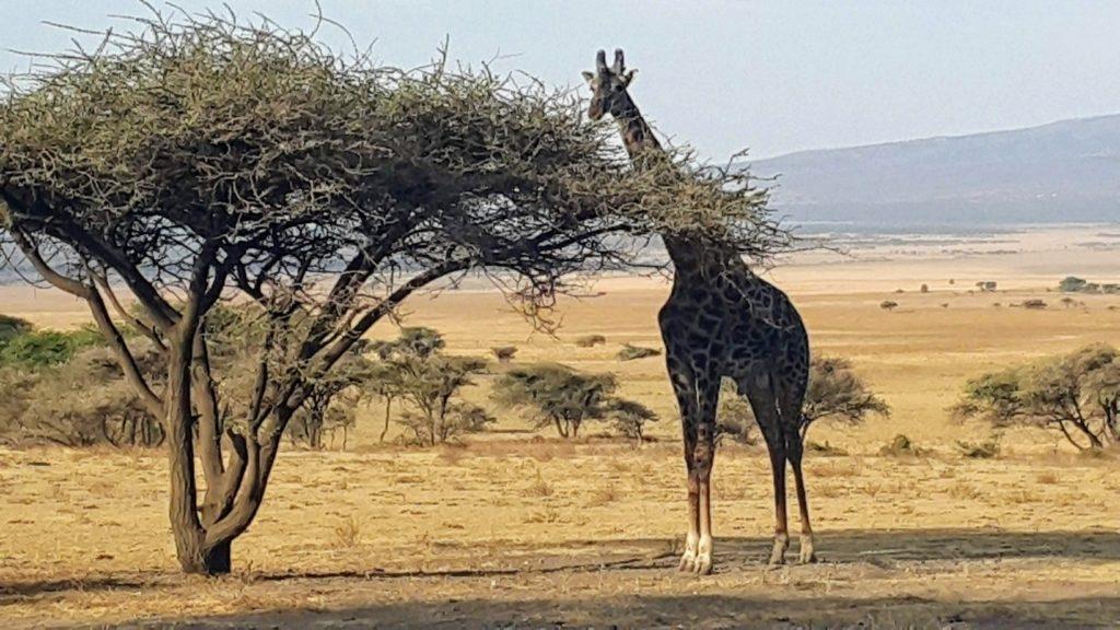 Bizden Tedirgin Olan ve Karnını Doyurmaya Çalışan Zürafa