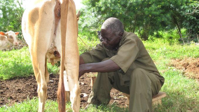 Man miking cow in Busia, Kenya