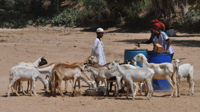 Goat herd being fed