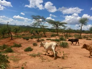 Cattle moving through a rural setting in South Omo Zone, Ethiopia.