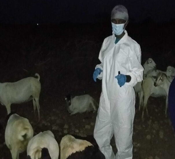 Figure 2 Sheep and goats being sampled at night after they came