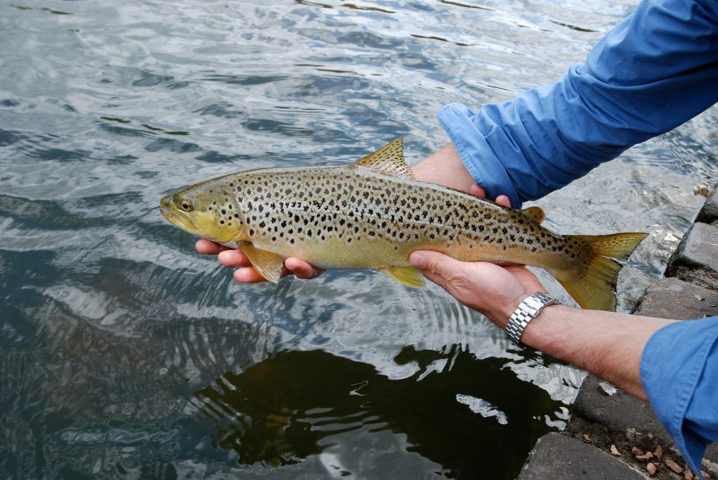 brown trout - river tweed