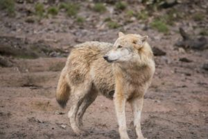 A large new investigation of ancient and modern dog DNA confirmed that dogs in the Americans did not descend from North American wolves.