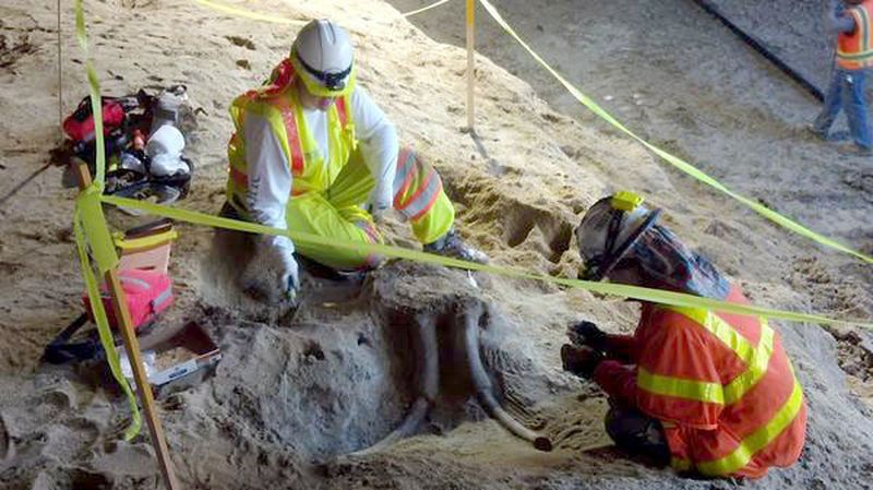 Workers with the paleontological consultant Cogstone expose the fossil skull.