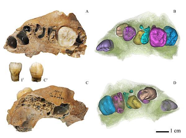 Scientists Analyze 100,000-Year-Old Child's Teeth