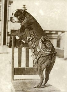 The American army dog Sergeant Stubby (c. 1916-1926)