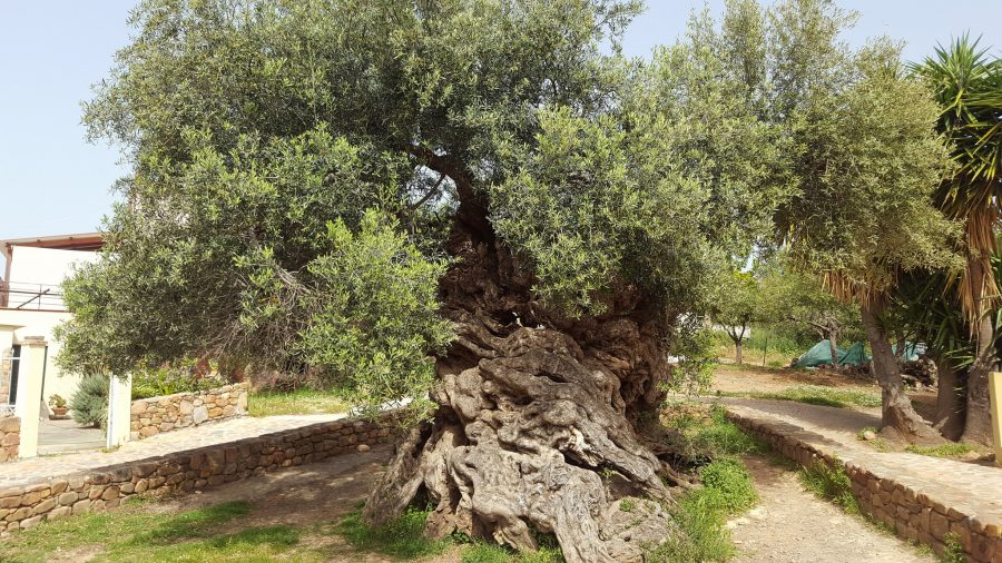 3,000-Year-Old World's Oldest Olive Tree on the Island of Crete Still Produces Olives Today