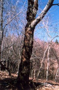 A photo of a large surviving Blight Resistant American Chesnut in its natural range