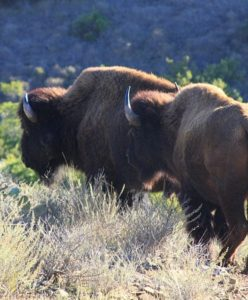Bison on Catalina Island.