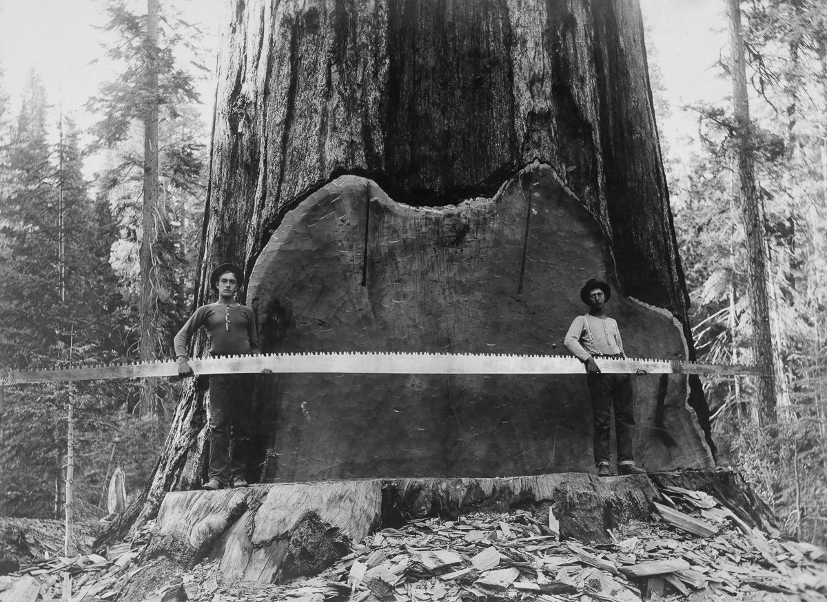 The old-school lumberjacks who felled giant trees with axes