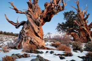 Bristlecone pines in the Methuselah Grove.