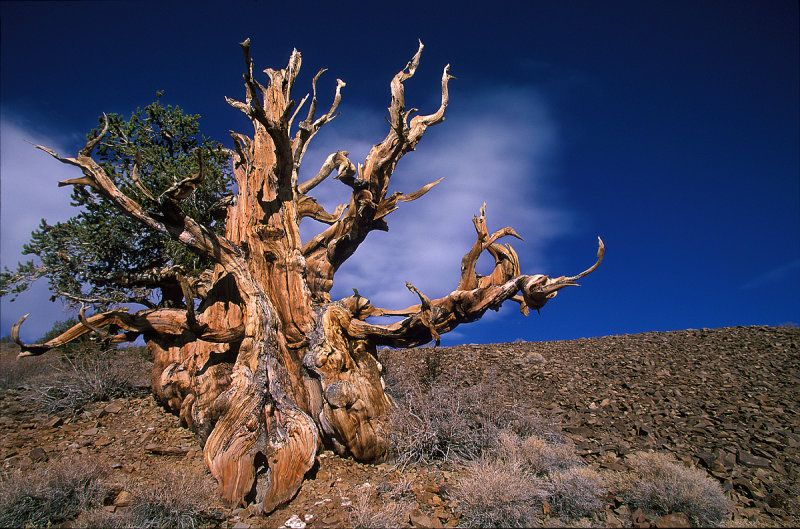 Meet California's Methuselah Tree, The Oldest Tree In The World