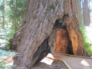 The Pioneer Cabin Tree