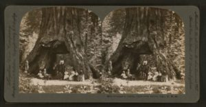 A stereoscope image of the Pioneer Cabin with people and horse passing through it (c. 1867–1899)
