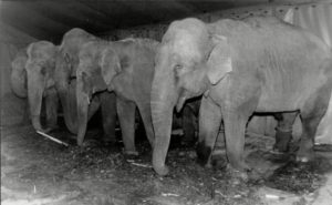'After the show one of the elephants broke away from the herd and began running towards the railway yard... he perhaps went in search of Mary'