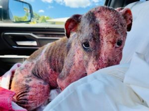 Leialoha bled from every inch of her body during the first bath after being rescued. She's since found a new, loving home.