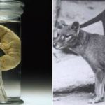 'Not science fiction any more': The Tasmanian tiger could soon be back from extinction