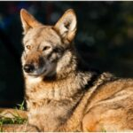 Mysterious Dogs in Texas have 'Ghost Genes' DNA of Extinct Red Wolves