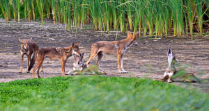 GHOST GENETICS Some canids on Galveston Island in Texas carry DNA from red wolves, an animal thought to be extinct in the wild for almost 40 years. This family group was photographed in 2013. The discovery raises questions about whether conservation efforts should preserve DNA, not just species.