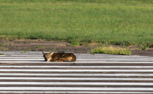 LET SLEEPING CANIDS LIE This photo of a canid from Galveston Island, Texas, sleeping on airport runway in 2013 caught evolutionary geneticist Bridgett vonHoldt's eye. The animals' characteristics and a plea from the photographer convinced her to analyze DNA from the animals.