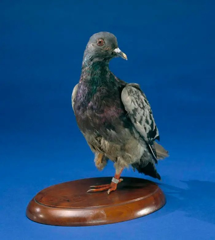 The Heartwarming Story Of Cher Ami, The Pigeon Who Saved 200 American Soldiers