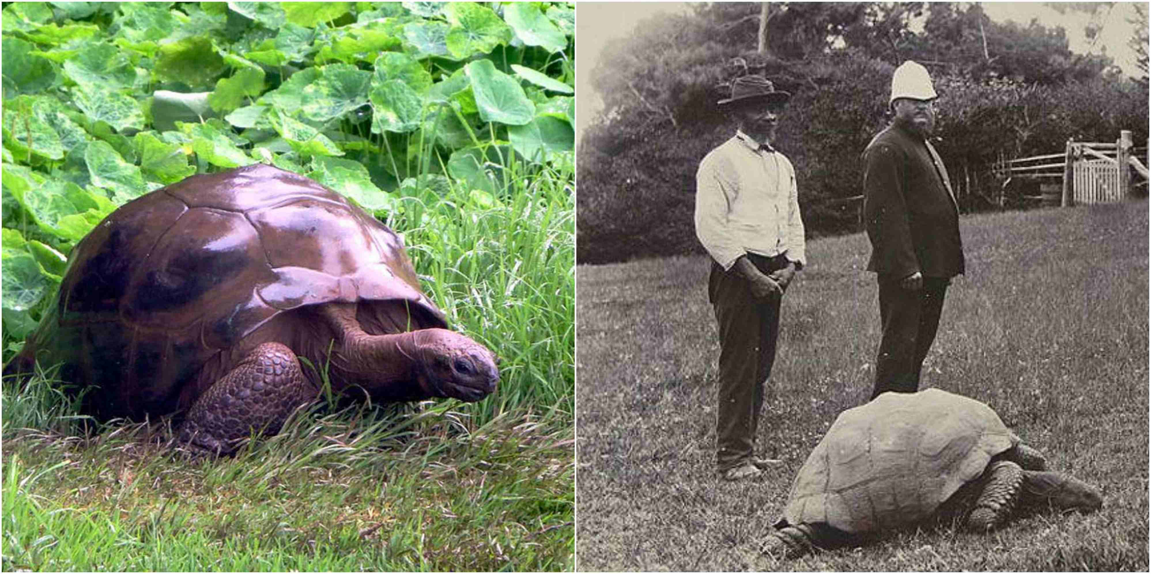 This is Jonathan, 182-year-old giant tortoise from St.Helena & the oldest land animal currently living
