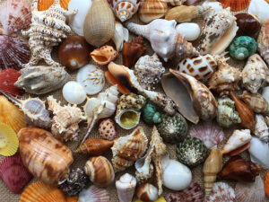 Seashells from the Gulf coast of Florida – or beads made from them – were traded as far inland as the lower midwest