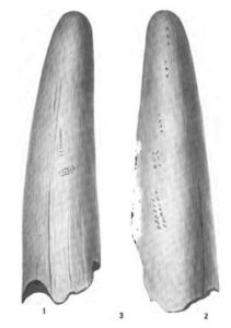 Illustration of mammoth or mastodon tusk with marks presumed to have been made by humans found by E. H. Sellard at Vero man site in 1916
