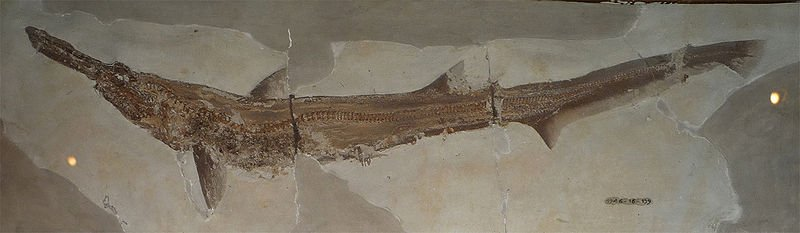 Researchers discover new 91-million-year-old giant shark species in Kansas