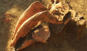 The horses skulls had been fossilised in the burial chamber