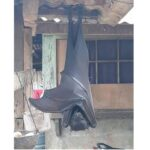 Rare sighting of endangered megabat in Philippines