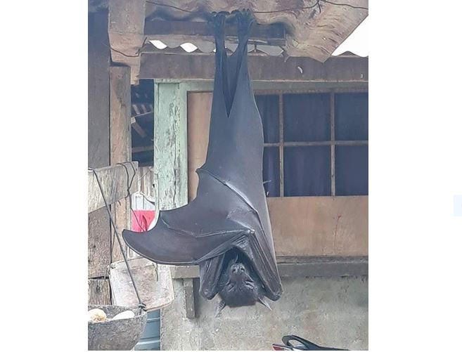 Rare sighting of endangered megabat in Philippines