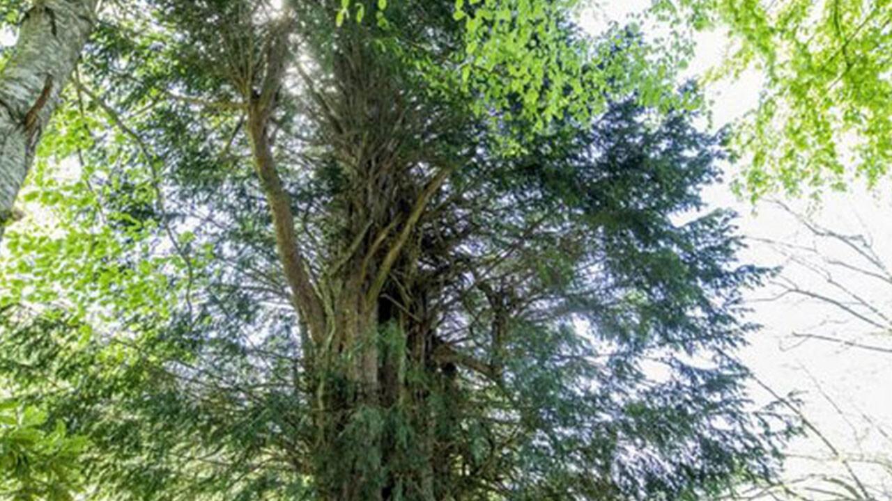 Turkey's oldest tree living since Bronze Age