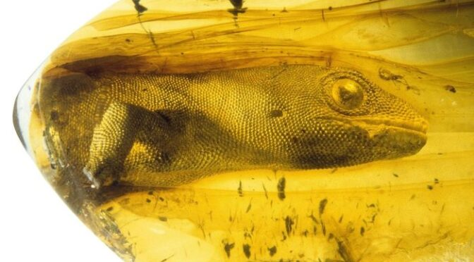 This Gecko Has Been Trapped In Amber For 100 Million Years
