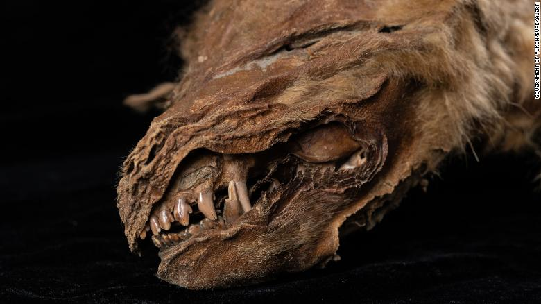 57,000-year-old mummified wolf puppy discovered in Canada gives peek into past